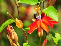 Flor (pasionaria) y abeja (Agapostemon) Imágenes de archivo libres de regalías