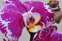 Flor pela rosa da orquídea Fotos de Stock Royalty Free