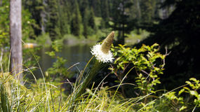 Flor pelo lago Foto de Stock Royalty Free