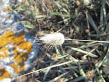 Flor peludo Fotos de Stock