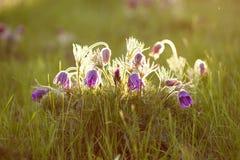 Flor peludo roxa nos raios do sol de ajuste Fotos de Stock Royalty Free