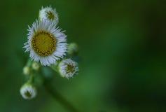 Flor pequena branca e amarela da margarida Fotos de Stock Royalty Free
