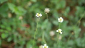 Flor pequena branca seca da corrediça da zorra no lugar da natureza vídeos de arquivo