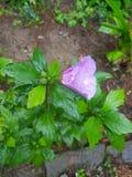 Flor pequena cor-de-rosa com folhas foto de stock