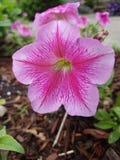 A flor pequena cor-de-rosa da pétala jardina em casa e parte externa Imagem de Stock Royalty Free