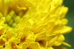 Flor pequena da flor Fotos de Stock Royalty Free
