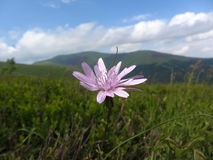 Flor pequena da montanha Fotos de Stock Royalty Free