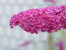 Flor pequena do grupo cor-de-rosa Fotos de Stock