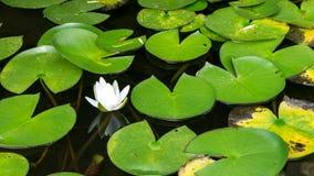 Flor pequena do lírio Imagens de Stock