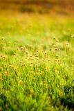 Flor pequena na grama Imagem de Stock