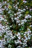 A flor pequena preta branca dos milhares das centenas floresce junto Bush fotografia de stock royalty free