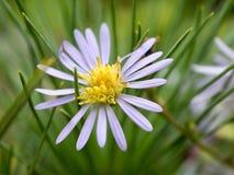 Flor pequena roxa e amarela Fotografia de Stock