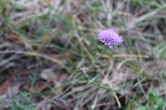 Flor pequena violeta em Montseny, perto de Barcelona Imagem de Stock Royalty Free