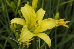 Flor perenne del Daylily amarillo - Hemerocallis Imagenes de archivo