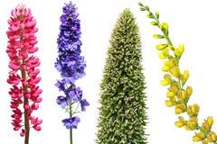 Flor perenne herbácea Fotografía de archivo