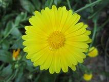 Flor perfecta y x28; Daisy& x29; Foto de archivo libre de regalías