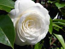 Flor perfeita Fotos de Stock Royalty Free