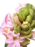 Flor perfumada cor-de-rosa delicada do jacinto da prímula da mola Fotos de Stock