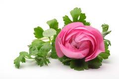 Flor persa cor-de-rosa do botão de ouro Fotografia de Stock Royalty Free