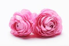 Flor persa rosada del ranúnculo Foto de archivo libre de regalías