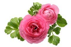Flor persa rosada del ranúnculo Imagen de archivo libre de regalías