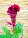 Flor Plumed de la cresta de gallo Fotografía de archivo