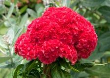 Flor plumed rojo de la cresta de gallo en árbol Foto de archivo