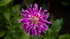 Flor pointy do rosa e a branca Fotos de Stock