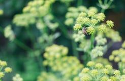 Flor polinating de la abeja Foto de archivo libre de regalías
