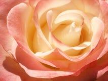 Flor poner crema delicada de la rosa del rosa Fotografía de archivo libre de regalías