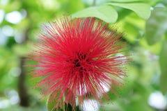 Flor pontudo cor-de-rosa Fotografia de Stock Royalty Free