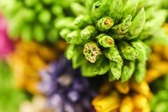 Flor pontudo seca colorida macro da bola isolada no backgroun branco Fotografia de Stock Royalty Free