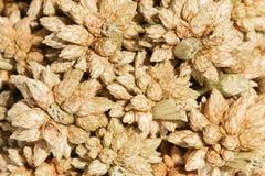 Flor pontudo seca marrom macro da bola no backgroun branco Fotos de Stock