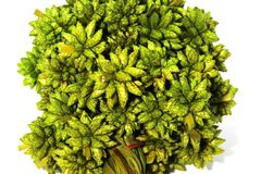 Flor pontudo seca verde macro da bola isolada no backgroun branco Fotografia de Stock Royalty Free