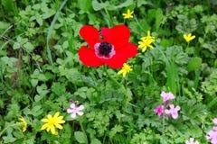 Flor poopy salvaje hermosa Fotos de archivo
