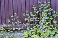 Flor por la pared Fotografía de archivo libre de regalías