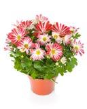 Flor Potted foto de stock