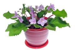 Flor Potted imagem de stock royalty free