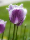 Flor próxima da tulipa na luz do sol Fotografia de Stock
