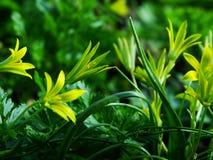 Flor, pratensis de Gagea Imágenes de archivo libres de regalías
