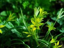 Flor, pratensis de Gagea Fotografía de archivo