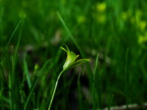 Flor, pratensis de Gagea Foto de Stock