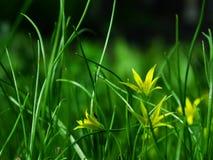 Flor, pratensis de Gagea Imagen de archivo
