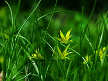 Flor, pratensis de Gagea Imagen de archivo libre de regalías
