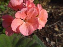 Flor pre cordillera de los Andes Chile imagen de archivo libre de regalías