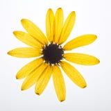 Flor presionada amarillo Imagenes de archivo