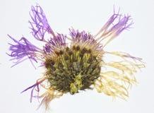 Flor presionada del cardo Imagen de archivo libre de regalías