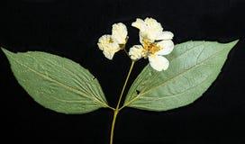 Flor pressionada do campo Imagem de Stock Royalty Free