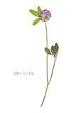 Flor pressionada e secada imagem de stock royalty free