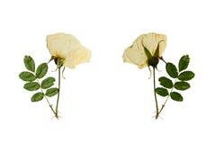 A flor pressionada e secada em uma haste selvagem aumentou Isolado no branco Fotos de Stock